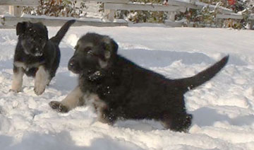 Puppy runnnig in snow